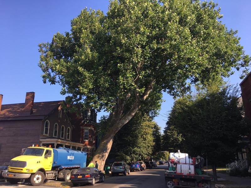 Before treatment began the city made a special water deliverey to help hydrate the tree