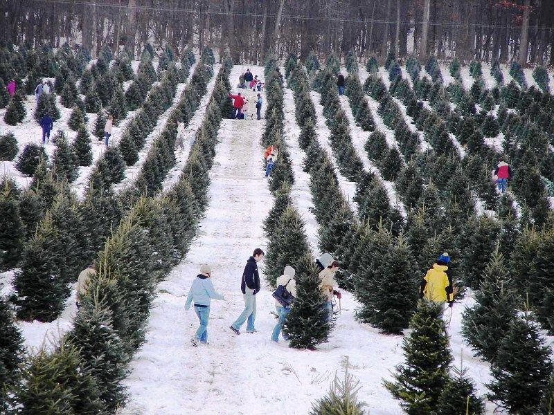 Christmas Trees In Abundant Supply Statewide Wbfo