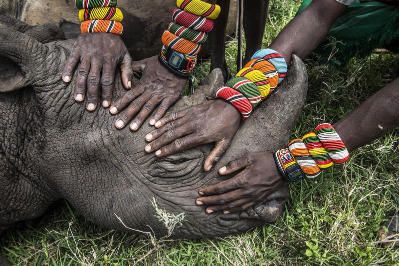 Samburu warriors with young rhino