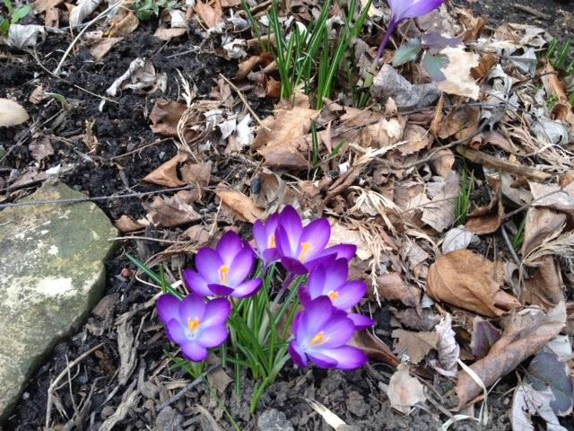 Early crocus in Buffalo