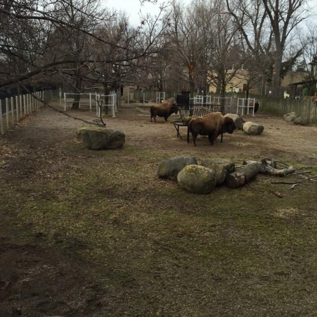 The Bison Is Poised To Become The U.S. National Mammal