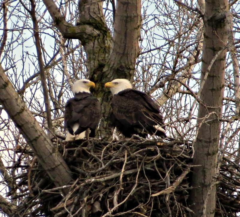 PHOTO BY APRIL LANDSCHOOT / Bald Eagle pair tends to a newly born eaglette, Spring 2017