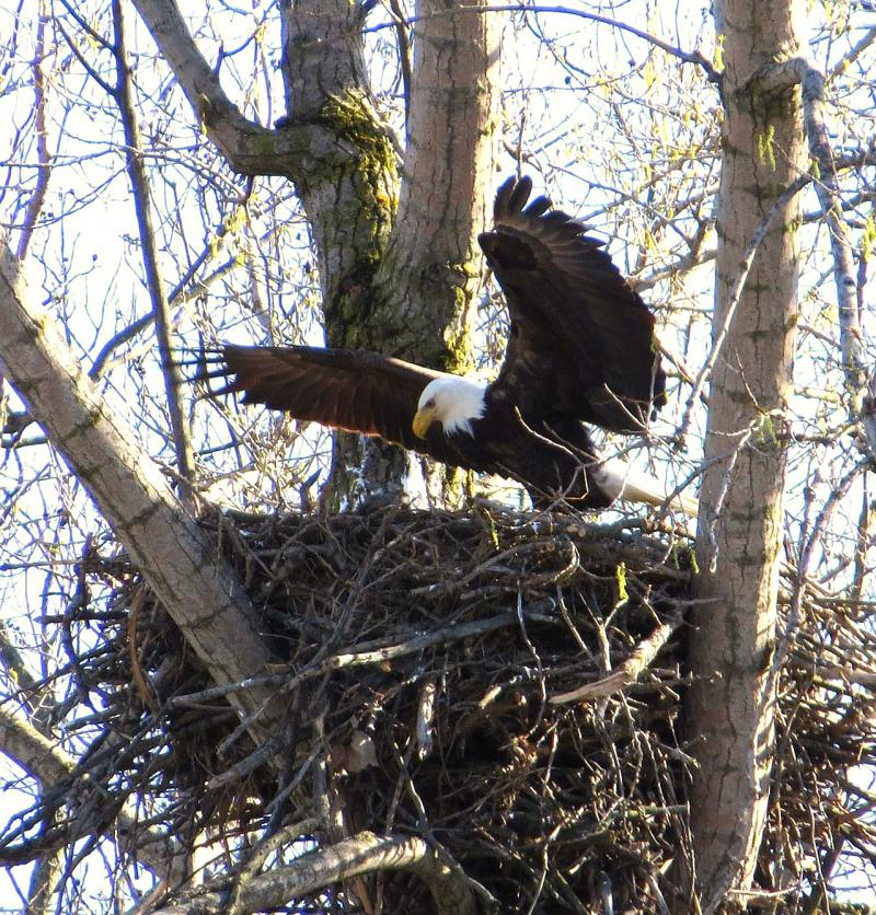 PHOTO BY APRIL LANDSCHOOT / Bald Eagle tends to a newly born eaglette, Spring 2017