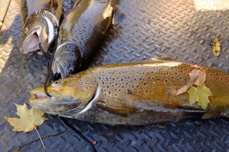 Fish caught in 18 MIle Creek
