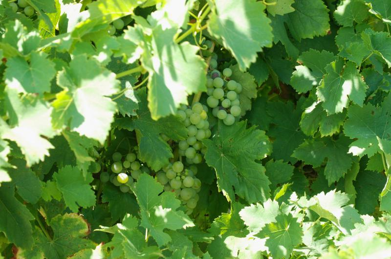 Grapes at 21 Brix Winery and farm in western New York