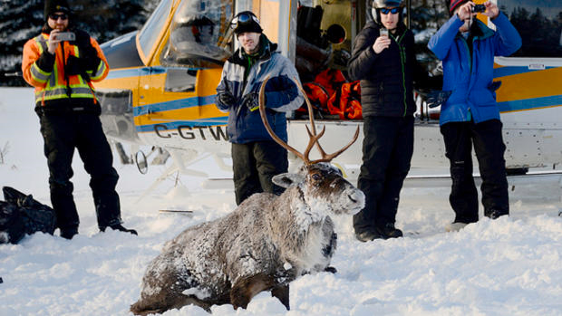 One of the caribou ferried by helicopter to the Slate Islands.