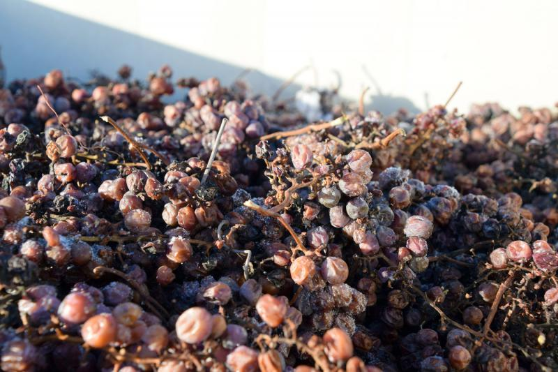 Piles of frozen grapes will yield ice wine.