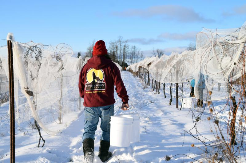 Ice wine harvest begins at Coyote Moon Vineyards in New York.