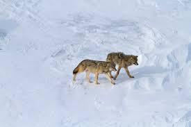 Wolves on Isle Royale (2016).