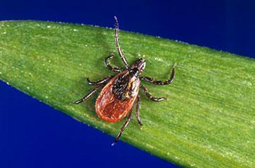 CDC / Black legged tick