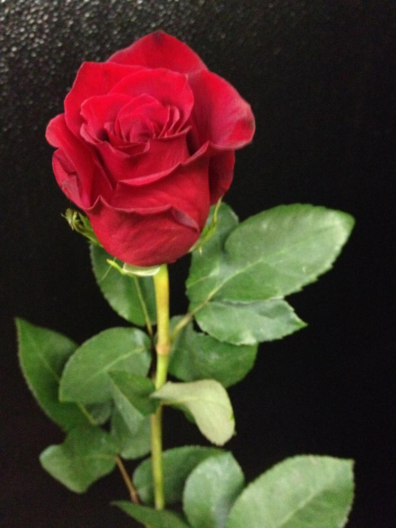 Red roses are one of the most recognizable symbols of passionate love.