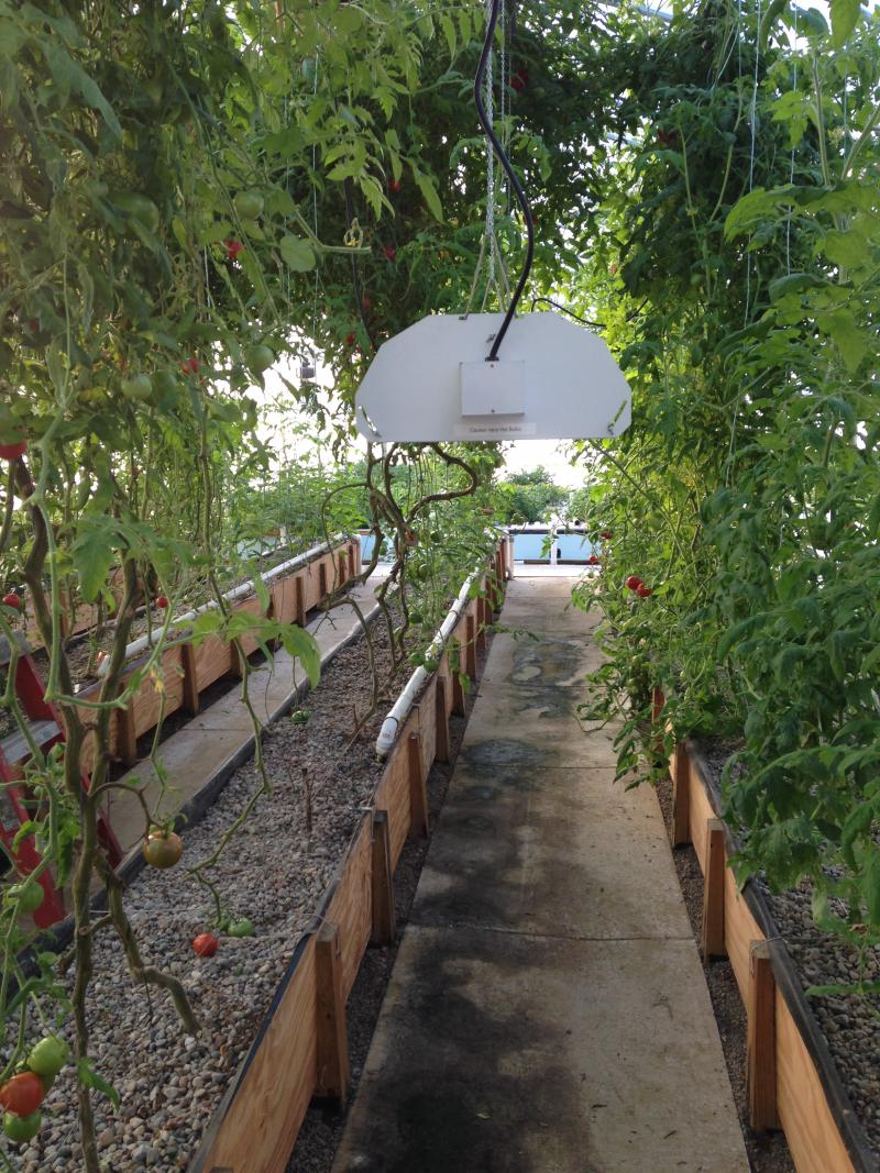 Get Fresh Farms' greenhouses allow them to grow tomatoes year-round.