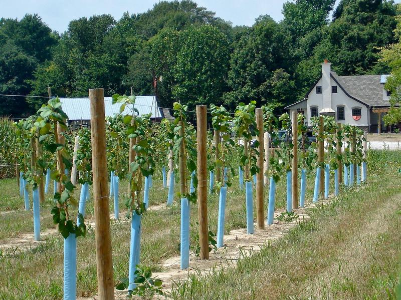 Vineyards at Cedar Creek Winery in Martinsville, Indiana