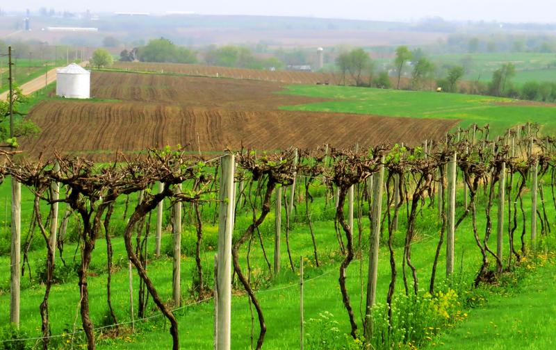 A glimpse of Heartland vineyards in early spring prime at Galena Cellars, in Galena, Illinois