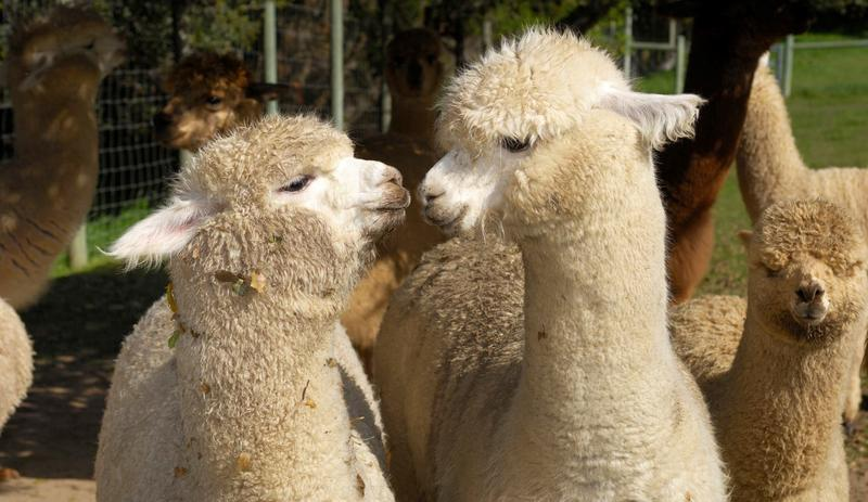 This year's Fiber Arts Festival at Salomon Farm features hands-on participation and demonstrations with wool, alpaca, silk and cotton.