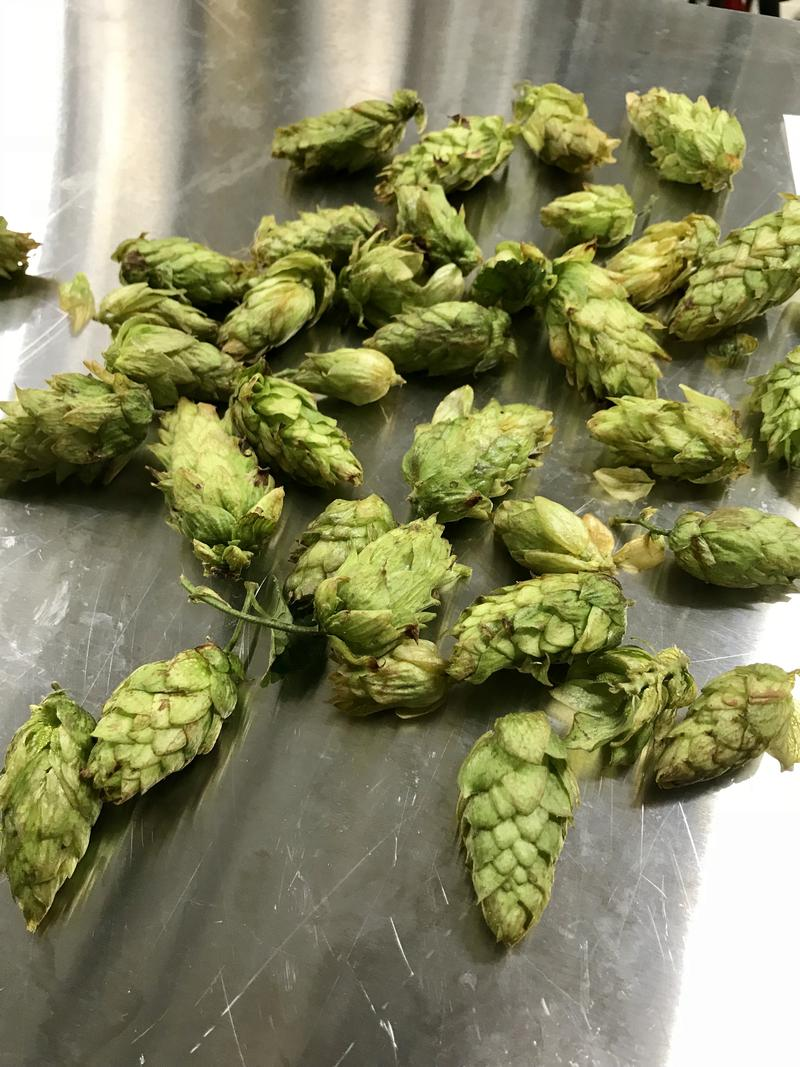 Fresh hops for the new Trail Mix brew.