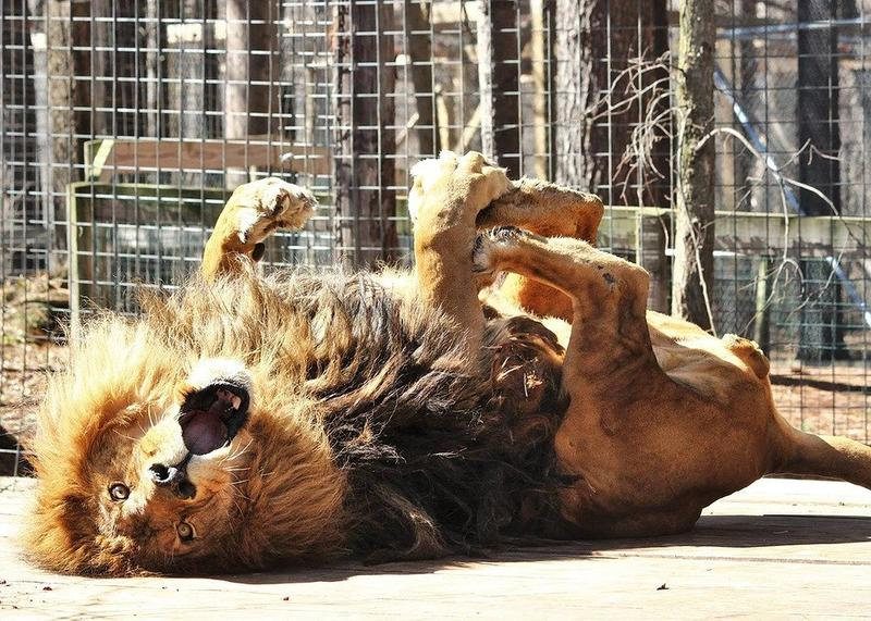 Mufasa was a fan of the sunshine, and often caught rolling around or up on his back.