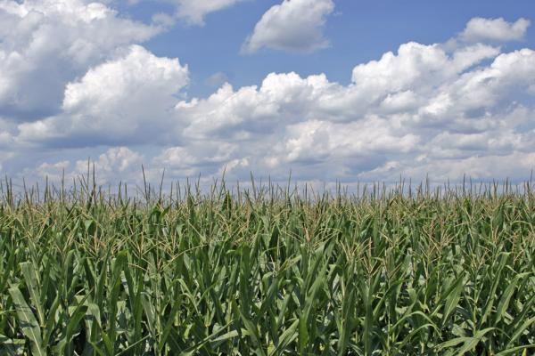 Indiana corn producers could see record yields again this year, if the weather cooperates.