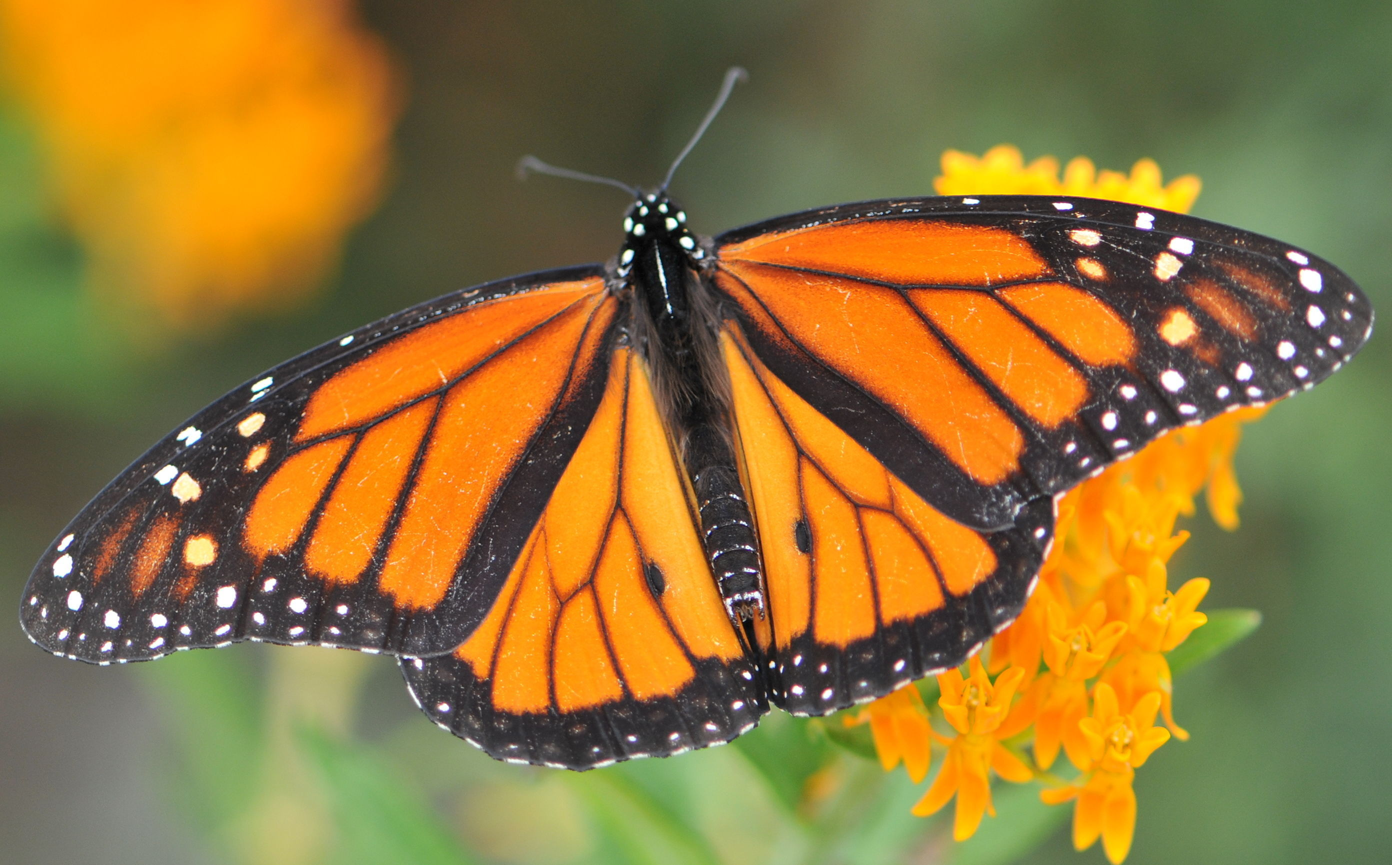 a comparison between the monarch and weed butterfly Monarch butterfly on tithonia diversifolia or mexican sunflower the monarch is a milkweed butterfly in the family nymphalidae and is threatened by severe habitat loss in much of the usa - milkweed picture.