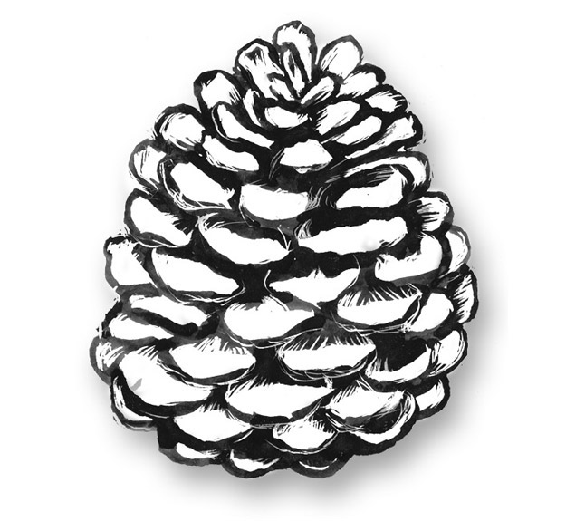 pine cone drawings Success