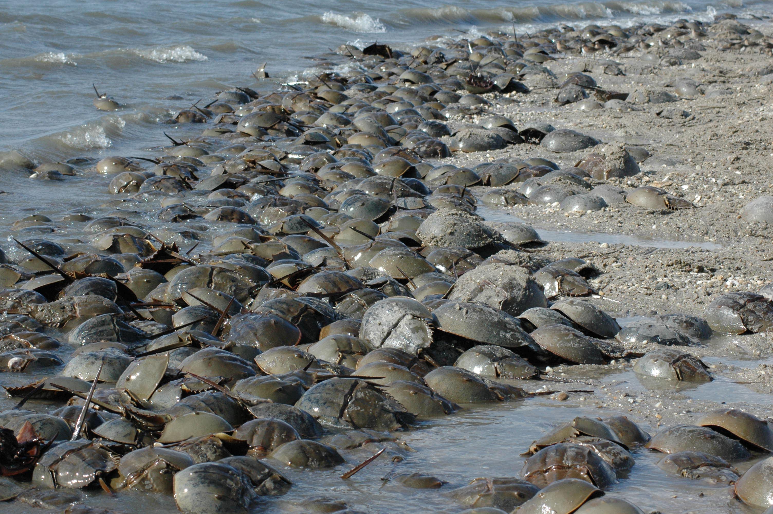 Horseshoe Crab Eggs Horseshoe Crabs Pulled Three