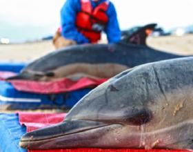 Two common dolphins rescued and released in Wellfleet, MA, in 2012.