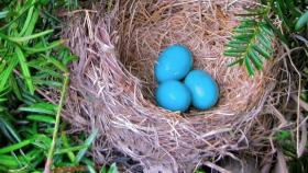 3 eggs in Robin's nest, one more to come