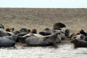 Gray seals (Halichoerus grypus) and harbor seals (Phoca vitulina) hauled out on the beach at Jeremy Point in Wellfleet, Mass.