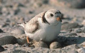 The piping plover is threatened throughout its range, including Massachusetts, and endangered in the Great Lakes watershed.