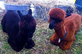 Alpacas on Martha's Vineyard