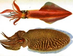 Squid and Cuttlefish