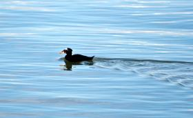 Scoters are among the sea ducks arriving to our waters this time of year.
