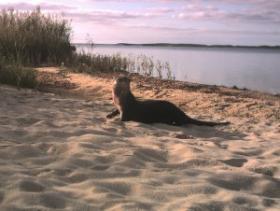 An otter on Martha's Vineyard