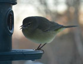 Orange-crowned Warbler seen on a Falmouth feeder, January 2014