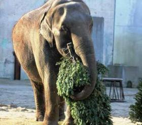 Ruth the Elephant playing with a tree