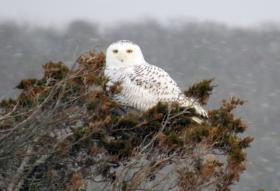 Snowy Owl on Christmas