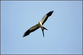 A Swallow-tailed Kite was seen by separate observers on March 12th in Orleans and Brewster.