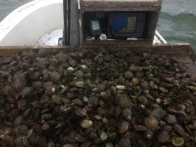 Nantucket bay scallops, dredged from the shallow waters off Tuckernuck island, shown here on the culling board of Blair Perkins' scallop boat, the Oldsquaw.