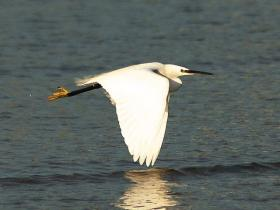 Little Egret, similar to the one spotted on Nantucket this past weekend.