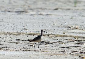 Whimbrels are among the long-distance migrants currently visiting our region.