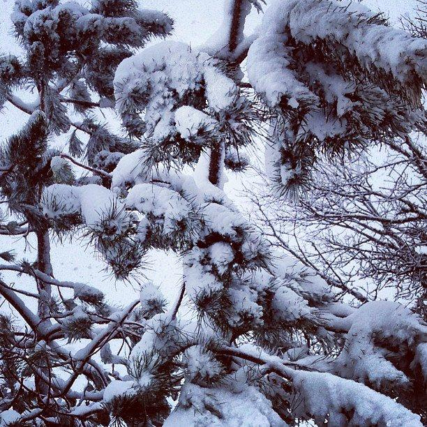 Snow weighs down tree branches in Falmouth.
