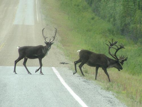 Caribou crossing Top of the World Highway in Alaska.