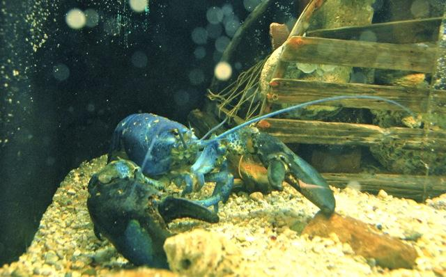 Blue Lobster at Woods Hole Aquarium
