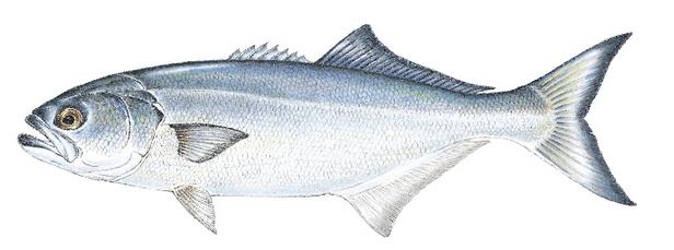 Saltwater Blue Fish Teeth