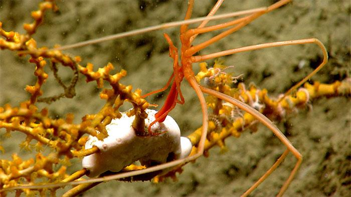 Deep-sea coral provides a habitat for many other animals. In this image, a pycnogonid or sea spider may be feeding on an anemone while both of them are living on a Paramuricea coral.