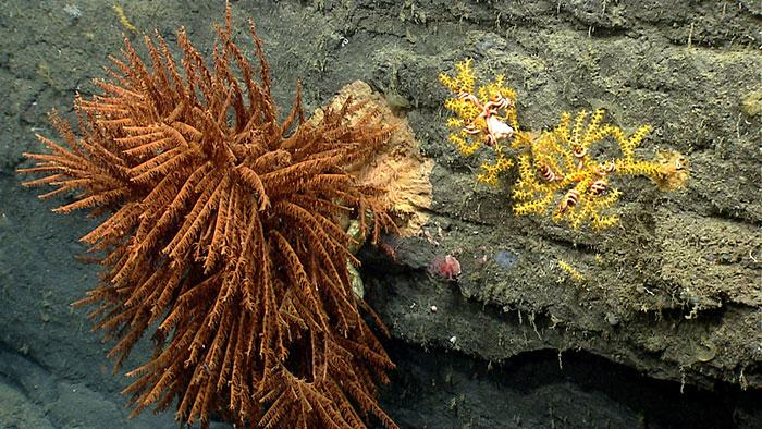 A large black coral and two Paramuricea corals in Oceanographer Canyon.