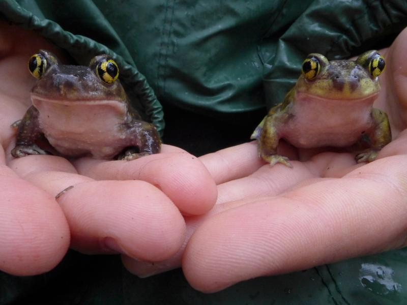 Spade foot toads ready for release