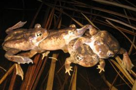 A Jubilee of Toads