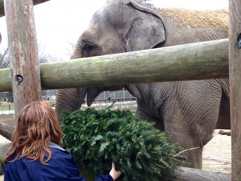 Zoo Curator Shara Crook offers a tree to Emily