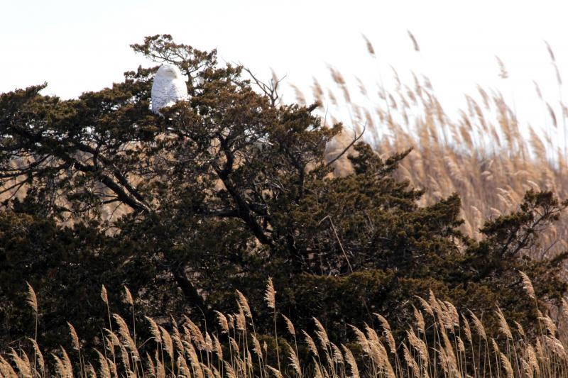 Snowy owl in tree